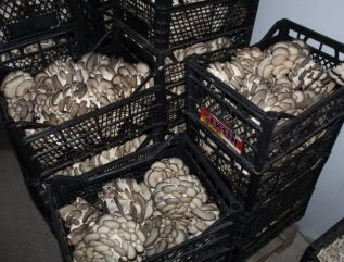 Oyster Mushrooms Before Packing
