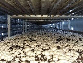 Phase I, II & Button Mushroom Growing, Zheijang China
